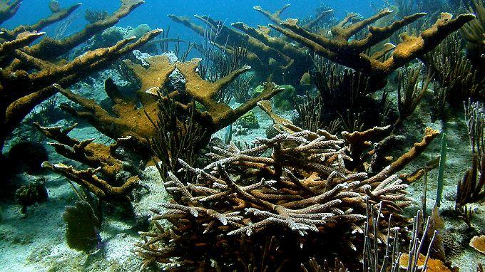 Das Bild zeigt ein gesundes Korallenriff vor der karibischen Insel Bonaire.