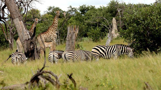 Ein Paradies für Tiere soll es werden: Zebras und Giraffen im Naturschutzgebiet Kaza in Afrika.