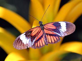 Schmetterlinge saugen den Blütensaft durch ihren Rüssel.