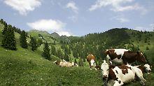 Dass jetzt alle Welt einsehen kann, wo die Millionen aus dem EU-Agrartöpfen hinfließen, stört dieses Fleckvieh in Oberbayern überhaupt nicht.