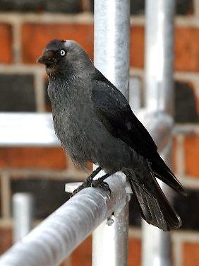 """Der NABU und der Landesbund für Vogelschutz (LBV) haben die Dohle (Coloeus monedula) zum """"Vogel des Jahres 2012"""" gekürt"""