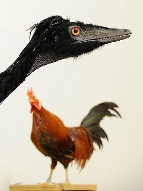 Das lebensechte Modell eines Raptoren aus der Familie der Troodontidae wird im Landesmuseum Hannover im Größenvergleich zu einem Huhn gezeigt.