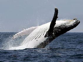 Wenn ein Buckelwal hochspringt - ein eindrucksvolles Bild.