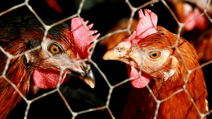 Antibiotika-Einsatz in Massentierhaltung: Folgen sind fatal