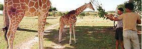 Giraffen auf Calauit werden medizinisch versorgt. Sie verletzten sich oft, zum Beispiel an spitzen Bambustrieben. (Archivbild)