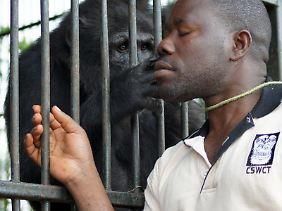 Nyendwi, einer der Manager von Ngamba Island, kümmert sich um die geretteten Schimpansen.