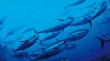 Ein Thunfischschwarm im Mittelmeer.