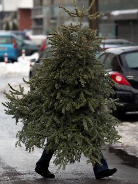 Im Weihnachtsbaum könnten sich Zecken verstecken.