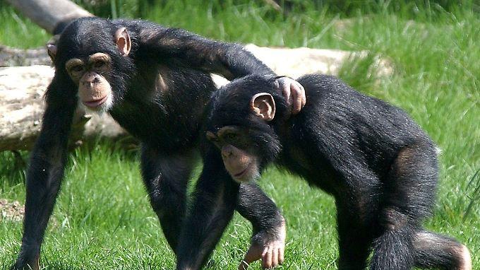 Schimpansen sind den Menschen in vielem ähnlich.