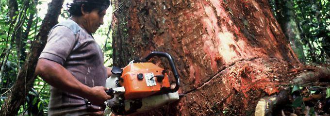 Der Regenwald im brasilianischen Amazonas-Gebiet wird immer schneller und drastischer illegal abgeholzt.