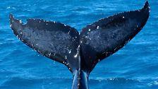 Bedrohte Meeressäuger: Wale