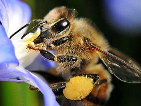 Eine Arbeitsbiene wird ungefähr 45 Tage alt.