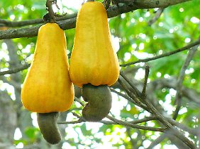 """Die eigentliche Frucht, """"Elefantenlaus"""" genannt, sitzt an einem gewaltigen Fruchtstiel und enthält die Cashewkerne."""