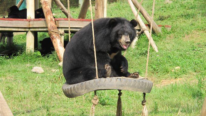 Auch in Vietnam gilt die Galle der Bären als Wundermittel. Im Bärenrettungszentrum im Nationalpark Tam Dao finden misshandelte Bären Zuflucht.