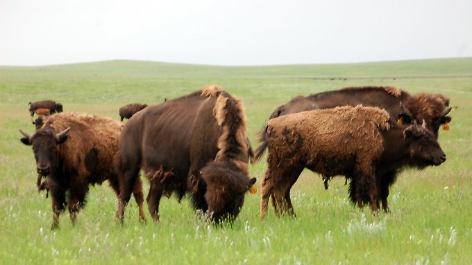 Mithilfe der USA versucht Mexiko die ausgerotteten Bisons ins Land zurückzuholen.