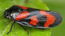 Besondere Krabbeltiere: Gekürte Insekten