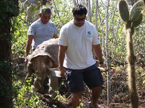 Die tote Riesenschildkröte wird weggetragen.