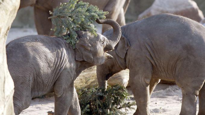 Ein Elefant wirft im Kölner Zoo einen Weihnachtsbaum in die Luft.