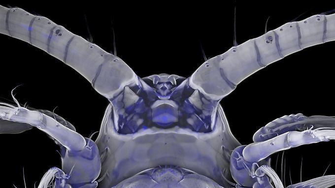 Die Unterseite des Vorderendes eines weiblichen Ruderfußkrebses der Art Centropages hamatus mit einem Laserrastermikroskop aufgenommen.