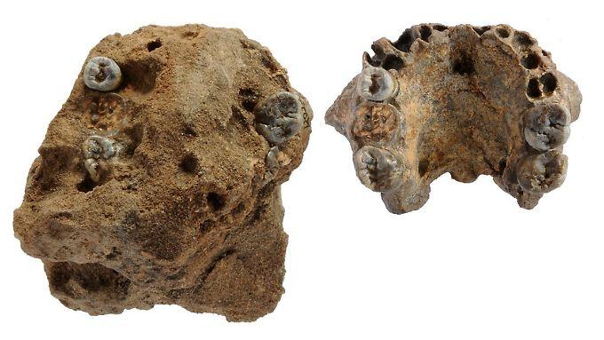 Das undatierte Foto zeigt einen von Paläontologen entdeckten Kiefer vor (l) und nach der Präparierung.