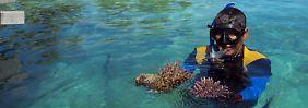Wong in seinem Korallengarten, den er täglich pflegt. Weil das Ökosystem noch nicht voll funktioniert, muss er nachhelfen.