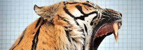 """Der Tiger scheint zu brüllen: """"Ich will hier raus!"""""""