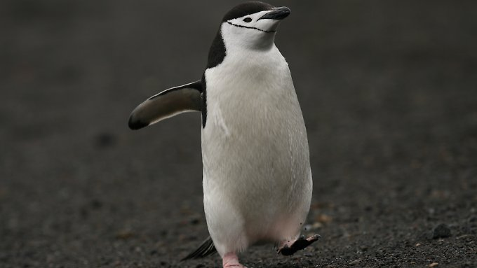 Zügelpinguin (Pygoscelis antarctica) auf Deception Island.