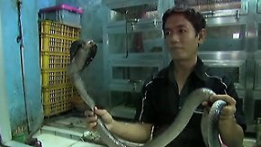 Tier-Verzehr als Medizin?: In Jakarta landen Kobras auf dem Tisch