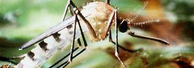 Tigermücken zählen zu den Überträgern des Dengue-Fiebers.