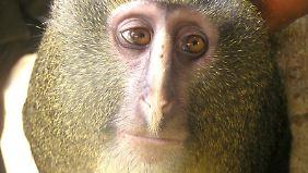 Die Affen haben ein bleiches Gesicht und tragen eine grau-blonde Mähne.