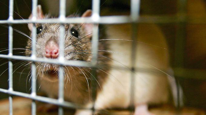 Ratten starben bei dem Versuch früher.
