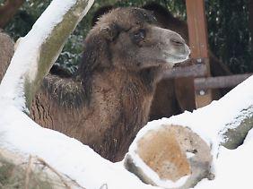 Kamele können sich hervorragend auf Temperaturschwankungen einstellen.