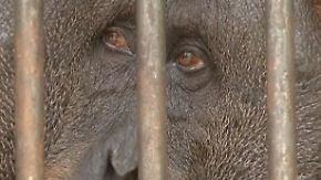 Palmölplantagen auf Sumatra: Brandrodungen bedrohen Orang Utans