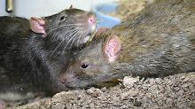 Ratten und Flöhe gelten als die Hauptüberträger von Pestkrankheiten.