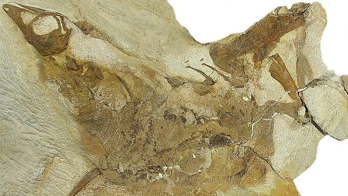 Skelett des in Alberta entdeckten einjährigen Jungtiers eines Ornithomimus-Dinosauriers; die feinen Streife im Gestein sind Überreste des Daunenkleids.