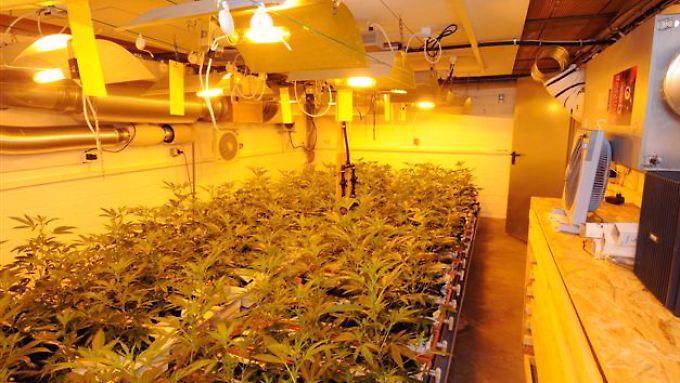 Die Ermittler entdeckten mehrere Indoor-Plantagen mit Cannabis.