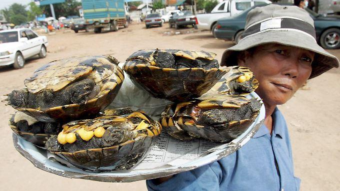 Schildkröten gelten in Asien und der Karibik als Delikatesse.
