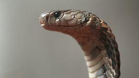 Schlangenfleisch ist begehrt in China und Vietnam.