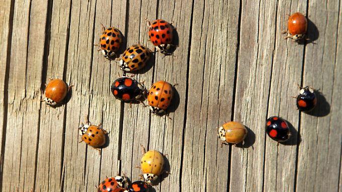 Forscher haben herausgefunden, dass der eingewanderte Asiatische Marienkäfer außergewöhnlich gut gegen Krankheitserreger gewappnet ist.