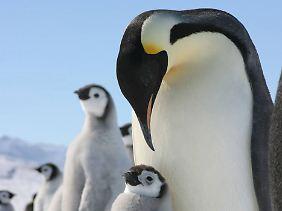 Der Kaiserpinguin, hier mit seinem mit Nachwuchs in der Antarktis, galt als die bisher größte bekannte Pinguin-Art.
