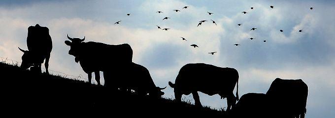 Wichtig ist, was hinten raus kommt: In der Bilanz ist die Kuh möglicherweise gar nicht so klimaschädlich wie bisher angenommen.