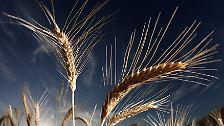 Schlechte Ernten, Brände, Spekulanten: Weizenpreis macht Sorgen