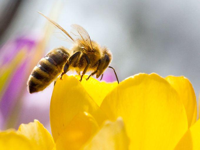 Bienen unter Handyeinfluss sammeln zwar Nektar, kehren aber seltener zu ihrem Bienenstock zurück.