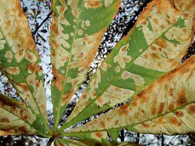 Die Miniermotte richtet seit Jahren europaweit erheblichen Schaden an Kastanienbäumen an.