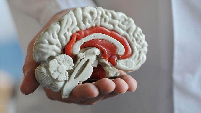 Modell von einem menschlichen Gehirn.