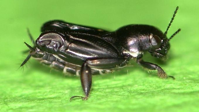 Halber Zentimeter pure Sprungkraft: Die afrikanische Grille Xya capensis.