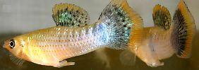 Buntes Treiben bei den Fischen: Homosexuelles Verhalten ist sexy