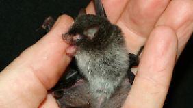 Auch neu entdeckt: die Röhrennasen-Teufels-Fledermaus (Murina beelzebub) aus Vietnam.