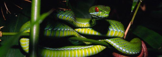 Neu entdeckt: Schlangenart aus Vietnam und Kambodscha namens Trimeresurus rubeus.
