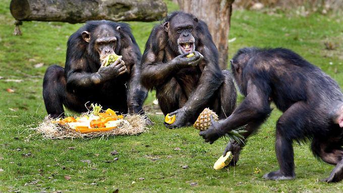 Schimpansen in einem Safaripark: Die Affen teilen Futter gerecht mit einem Artgenossen - zumindest, wenn sie andernfalls selbst Einbußen fürchten müssen.